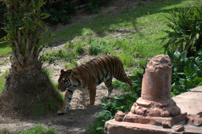 Animal Kingdom - Asiatischer Tigerak6
