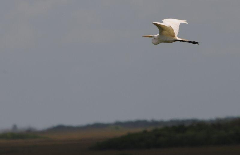 Pelikan über den Everglades