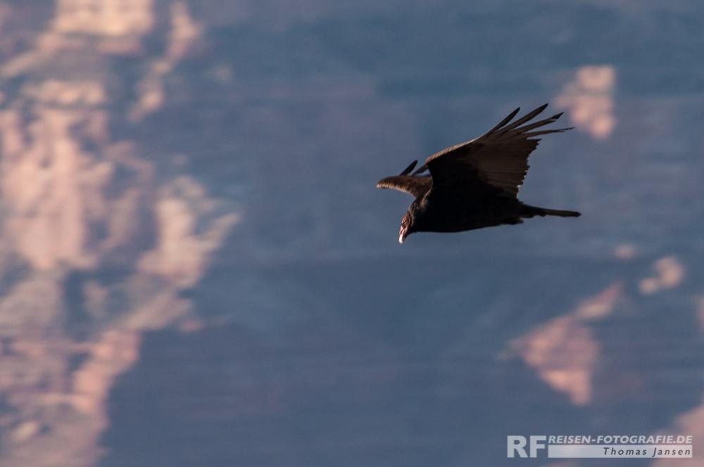 Kondor über dem Grand Canyon