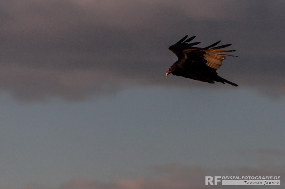 Kondor im Sonnenuntergang