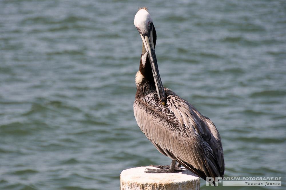 Pelikan in Clearwater Beach