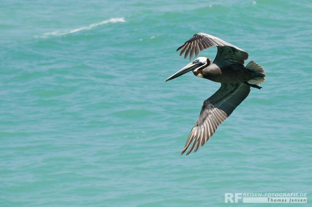 Pelikan in Tampa
