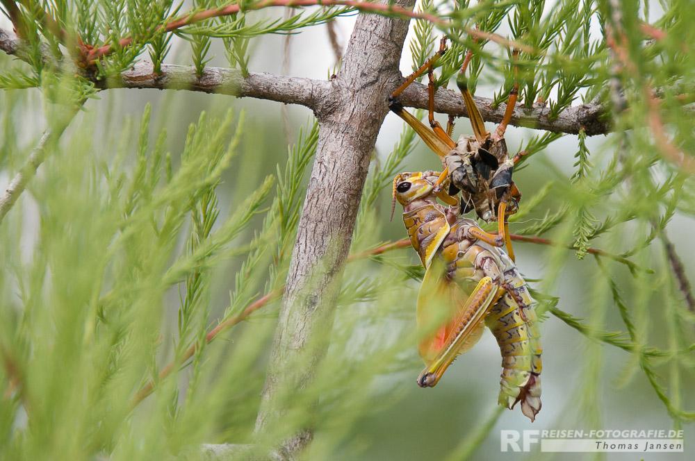 Heuschrecke Everglades