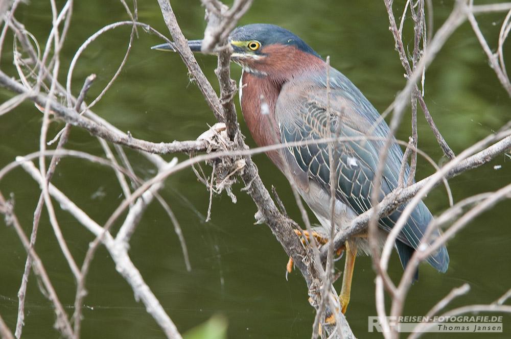 Vogel in den Everglades