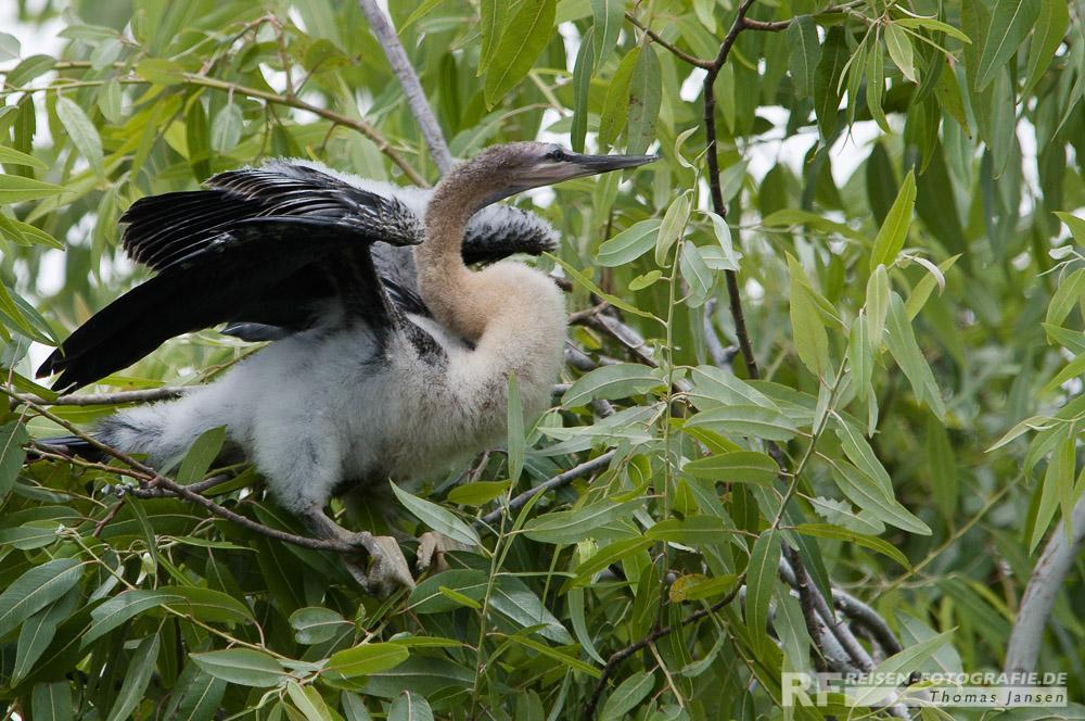 Junger Vogel - Everglades