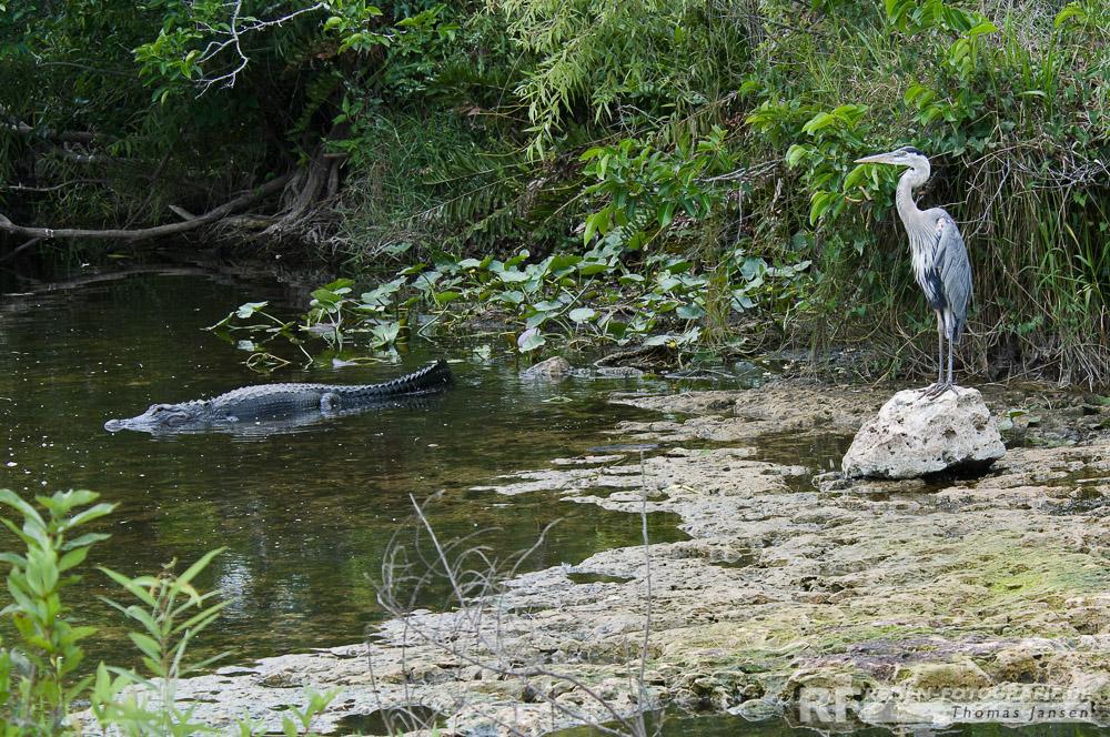 Wildlife in den Everglades