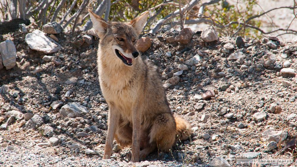 Kojote im Death Valley