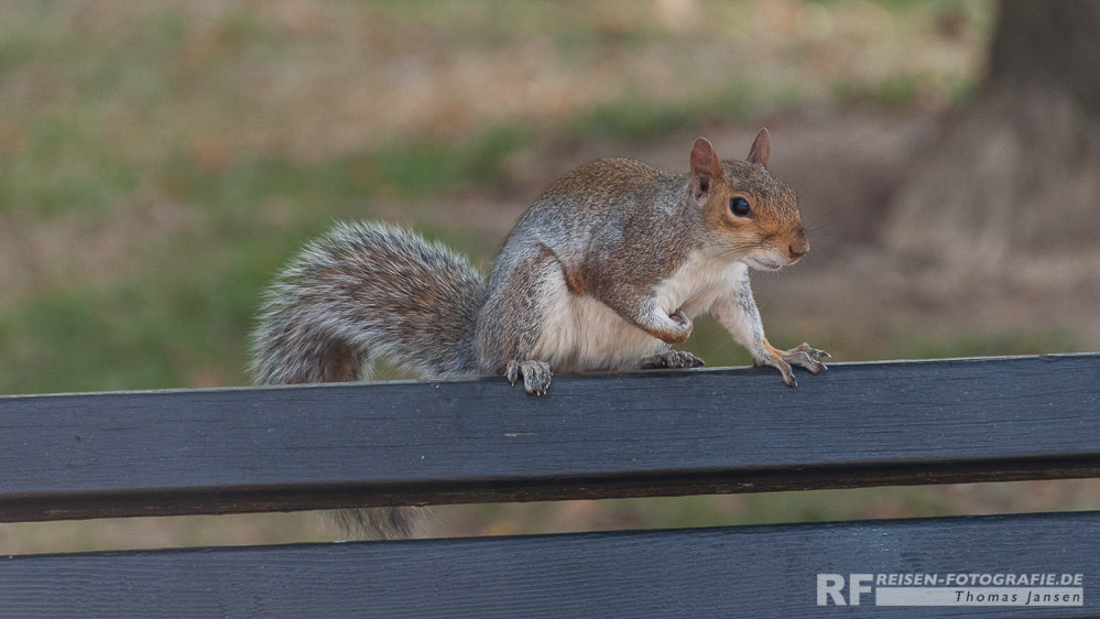 Squirrel in Washington D.C.