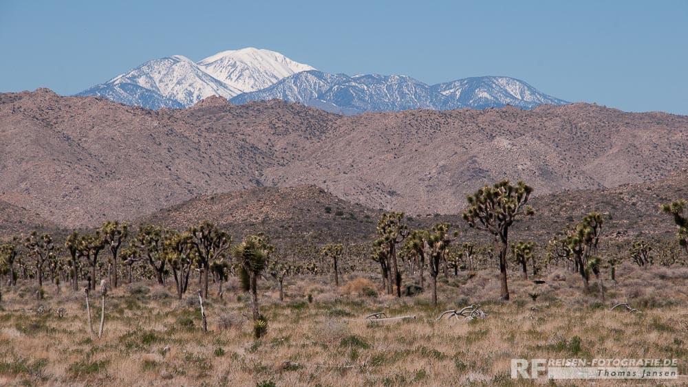 Joshua Trees mit Blick auf den Mt. San Jacinto