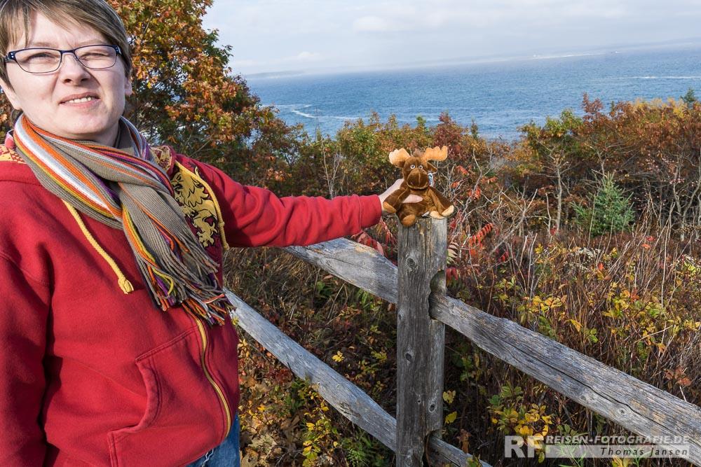 Wilder Elch im Acadia