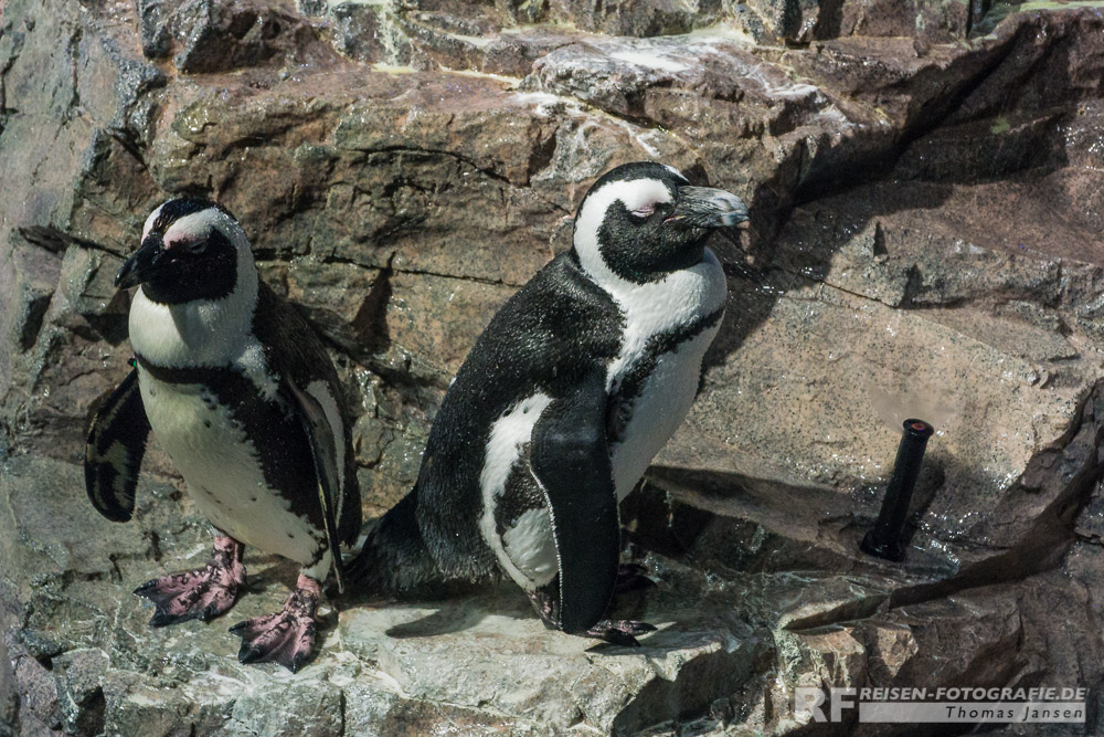 Mini Pinguine