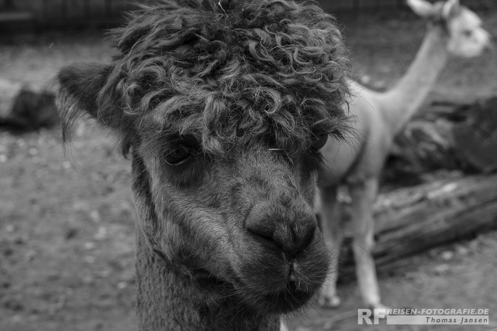 Zoo Krefeld: Alpaka