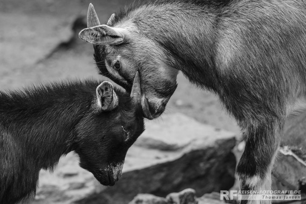 Zoo Krefeld: Mini Ziegen beim Kampf
