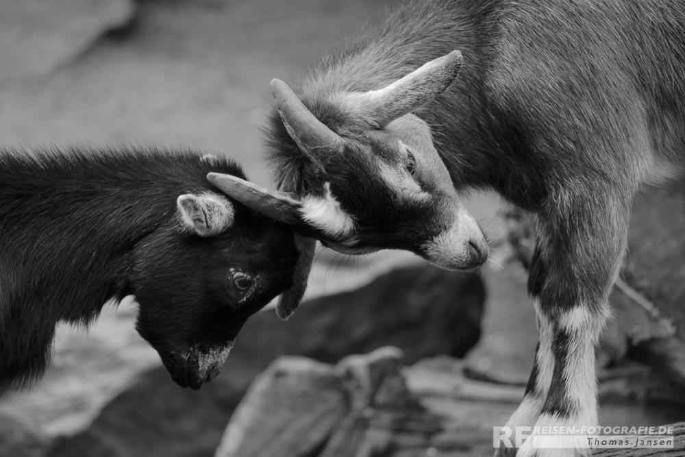 Zoo Krefeld: Wirklich ein harter Kampf