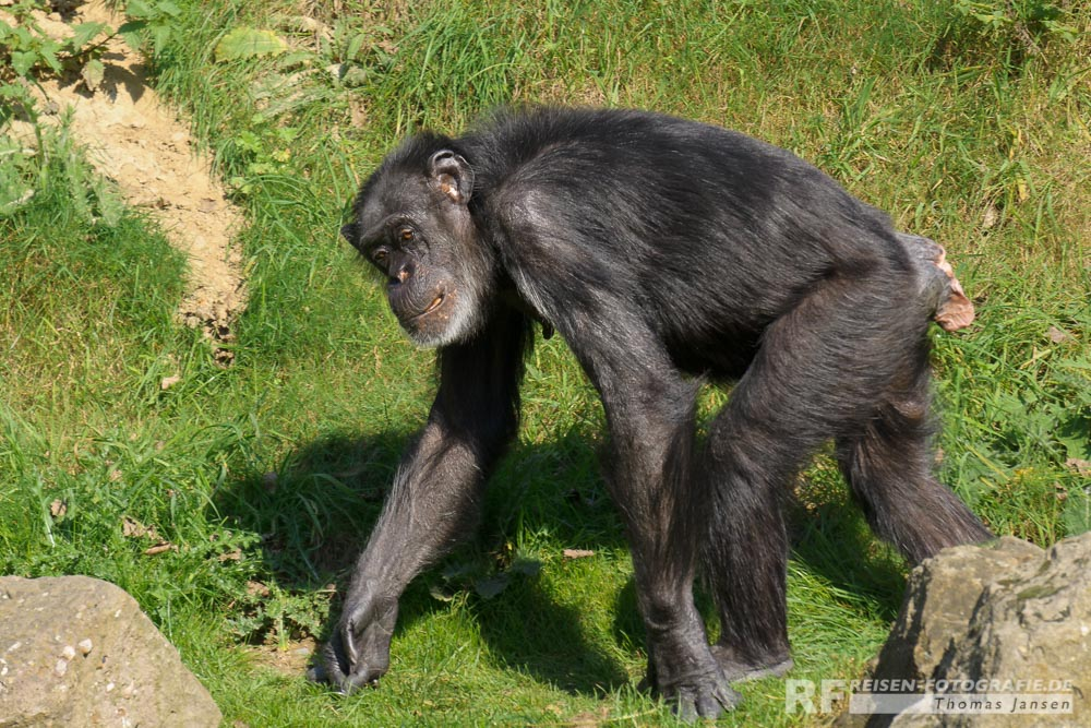 Schimpansen Weibchen