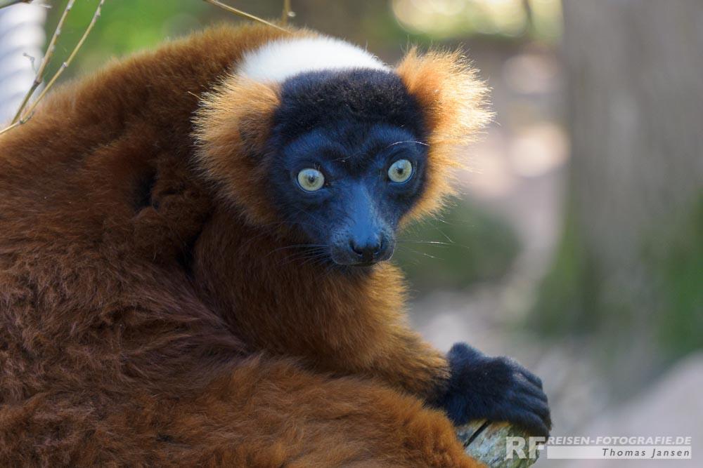 Lemuren Äffchen