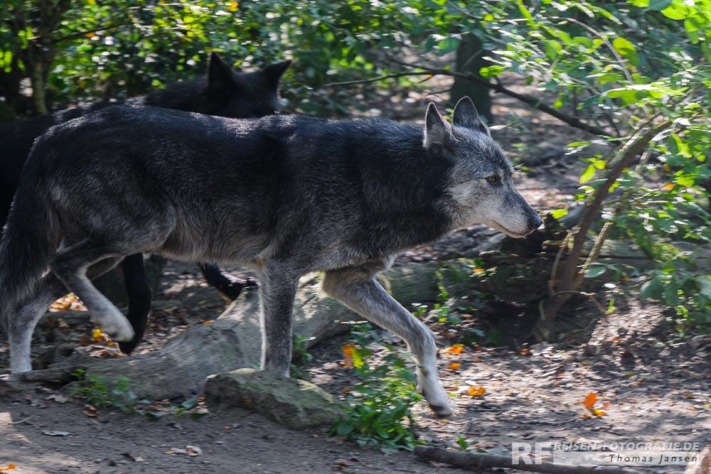 Wölfe in der Zoom Erlebniswelt