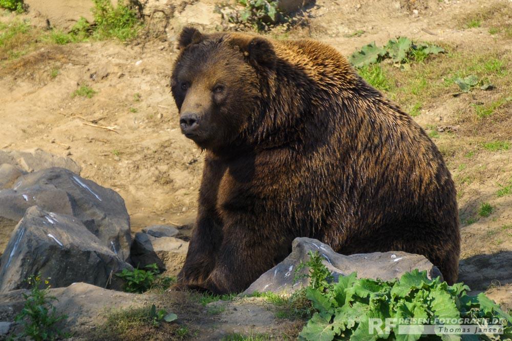 Kodiak Bär