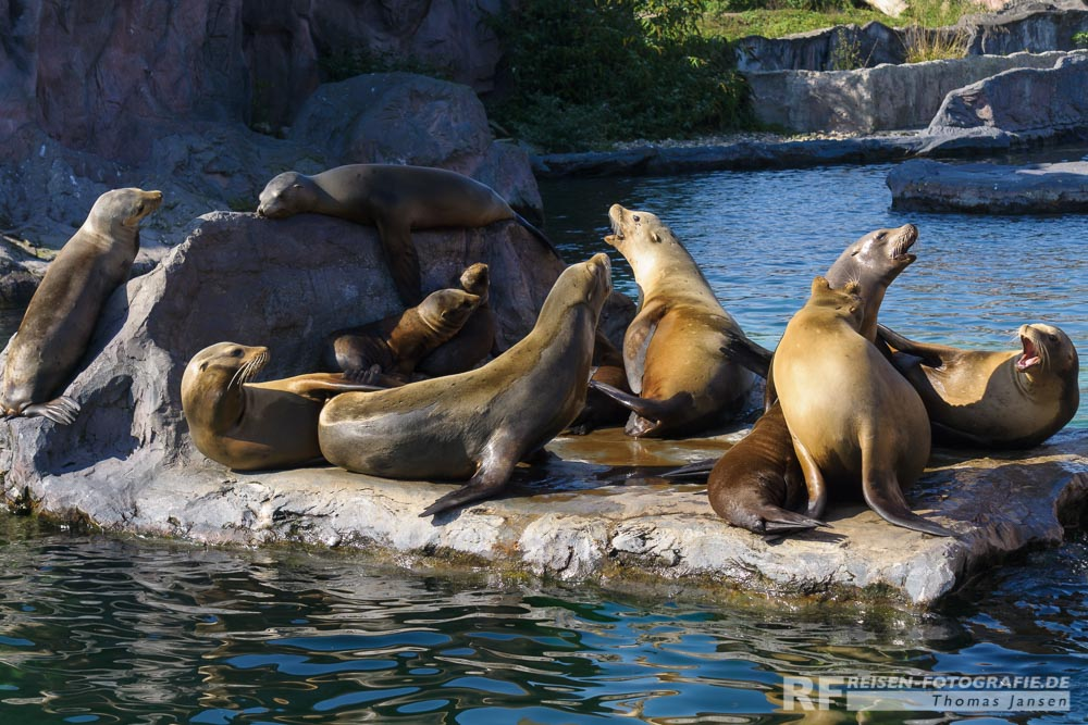 Seelöwen in Alaska