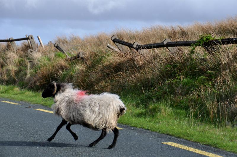 Connemara Schaf