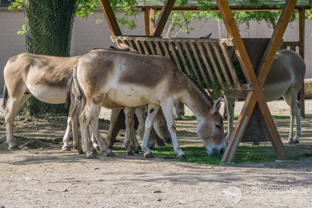 Esel im Kölner Zoo