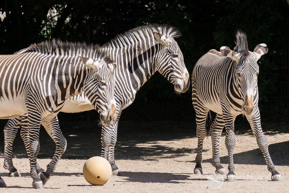 Zebras und Fußball - passend zum Aufstieg des MSV