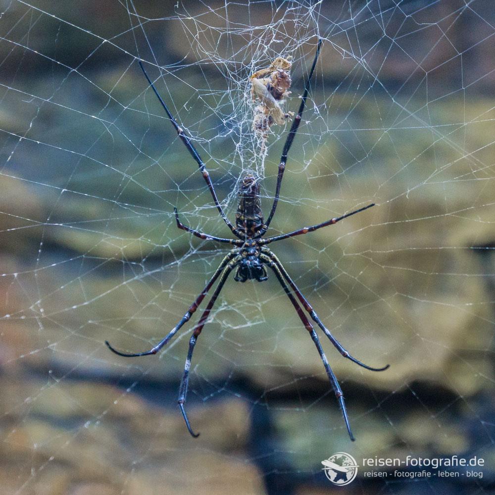 Spinne aus Thailand
