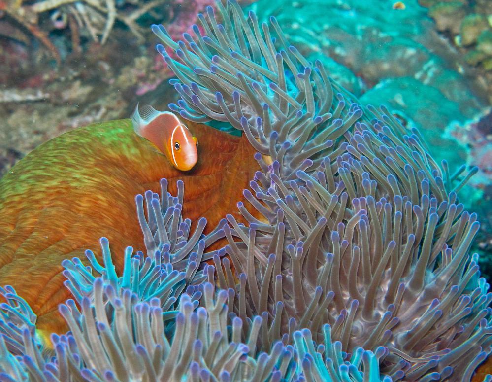 Auch Nemo findet man beim Tauchen