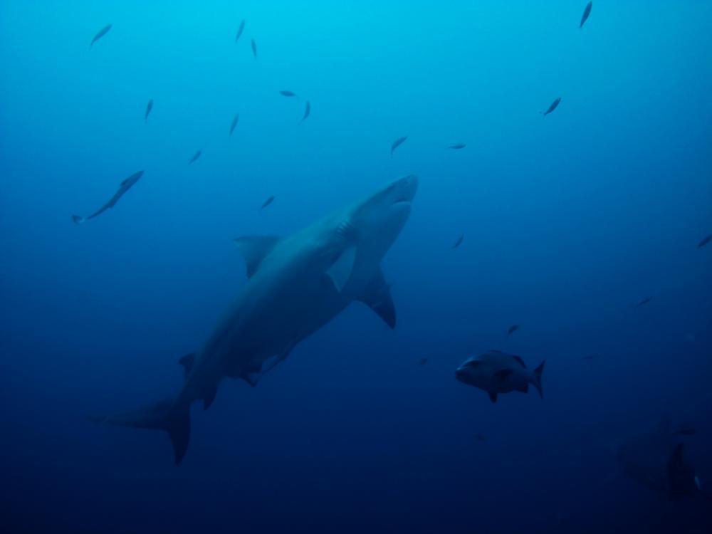 Bullenhai beim Tauchen in Beqa