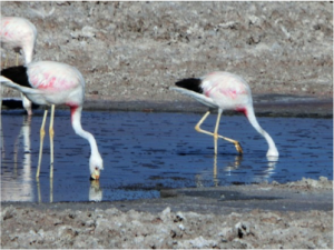 Salar de Atacama. Flamingos