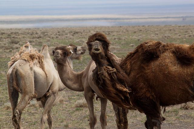 Neugierige Beobachter in der Mongolei