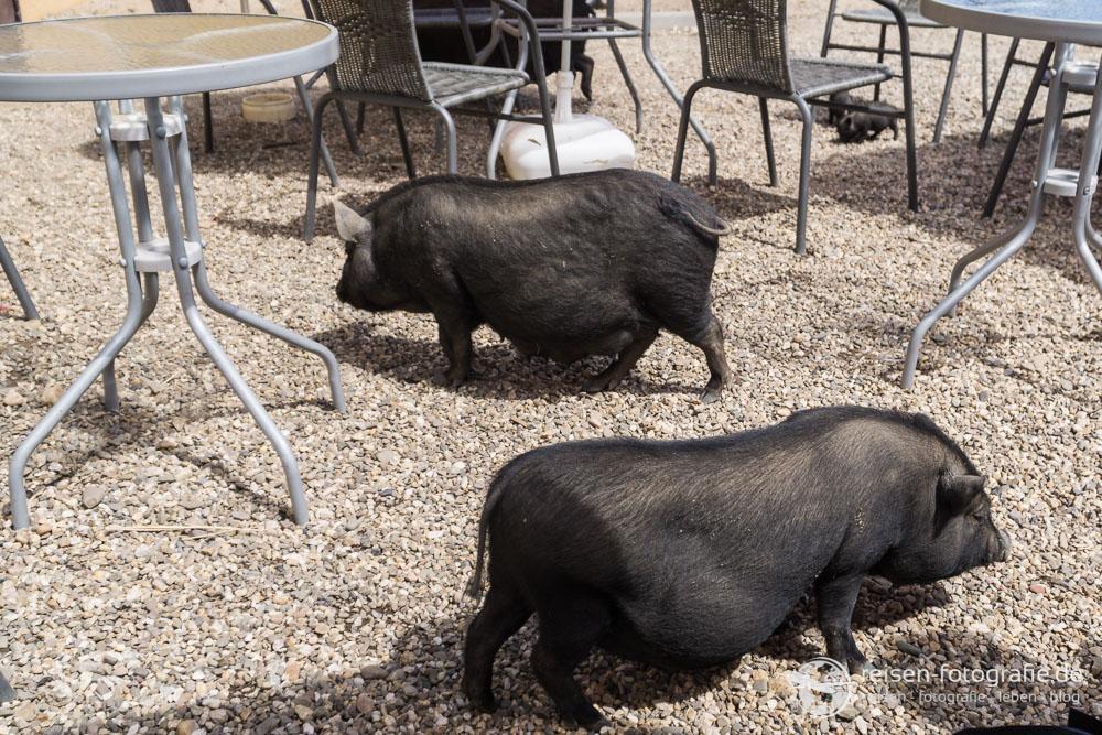 Schweinerei im Café