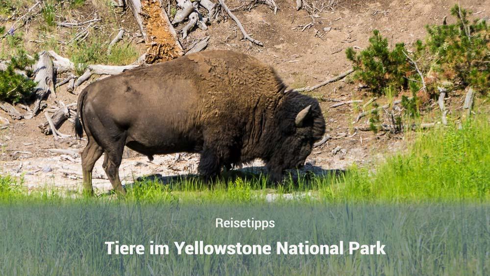 Tiere im Yellowstone