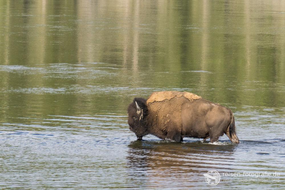 Bisons können schwimmen