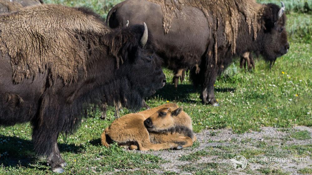 Nachwuchs bei Bisons