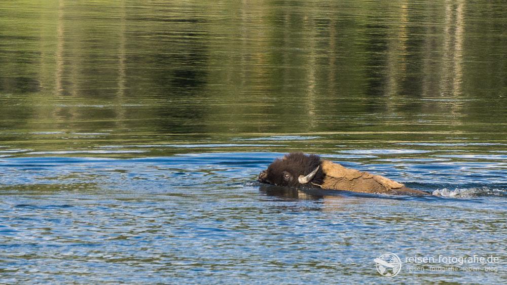 Bisons können schwimmen...
