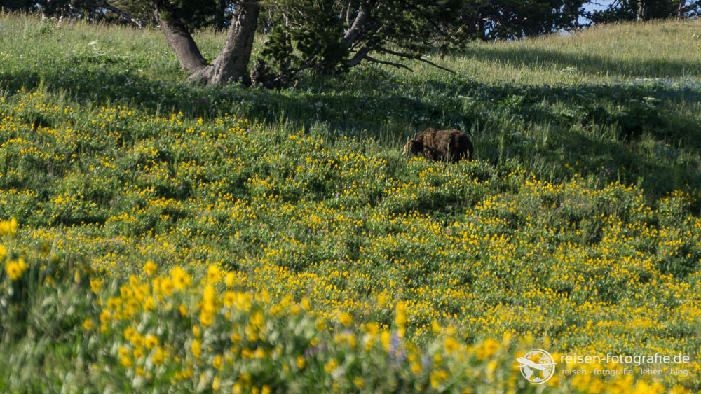 Grizzly im Blumenmeer