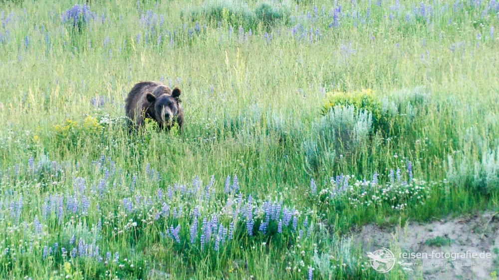 Grizzly mit GPS Sender um den Hals