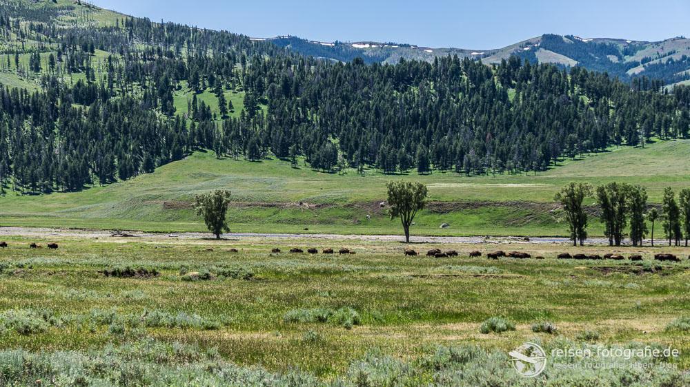 Bison Herden im Lamar Valley