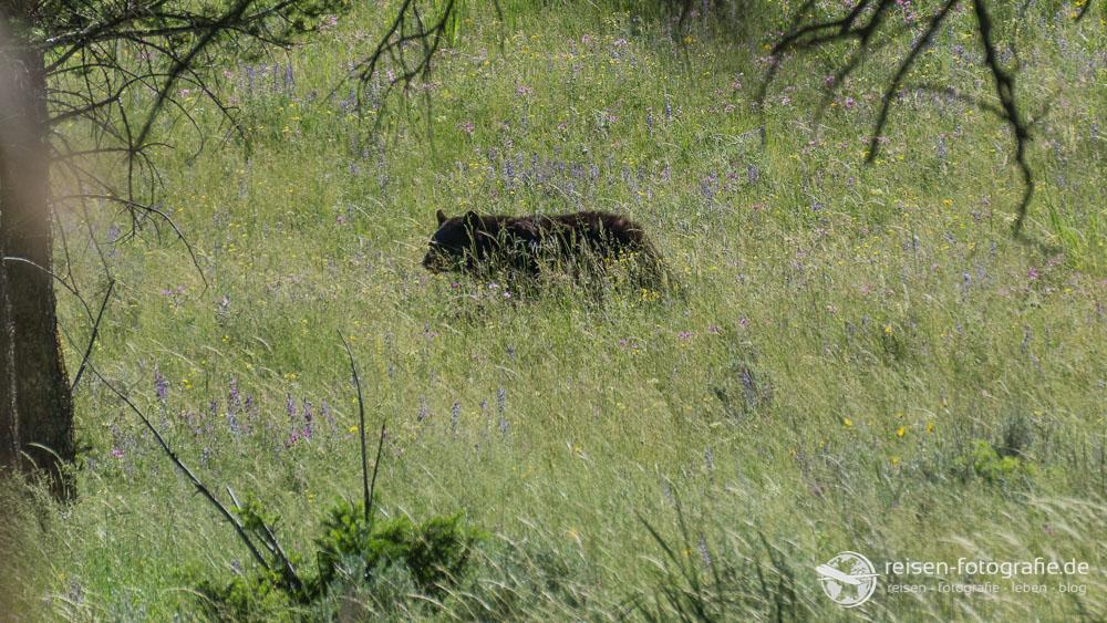 Schwarzbär im hohen Gras