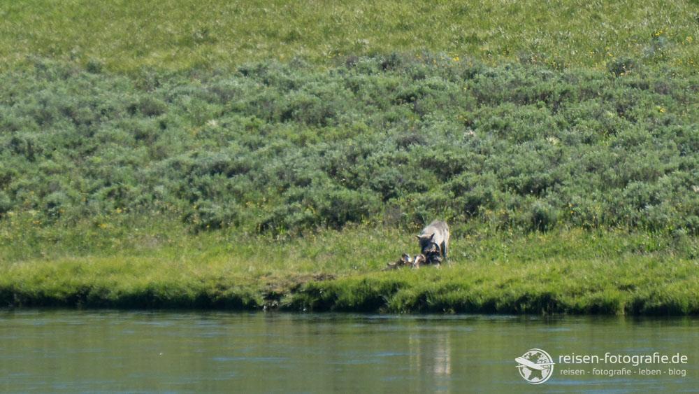 Wolf im Hayden Valley