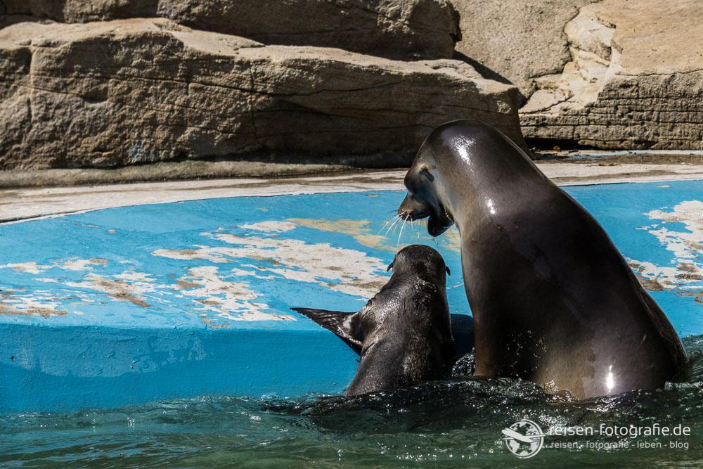 Nachwuchs bei den Seelöwen