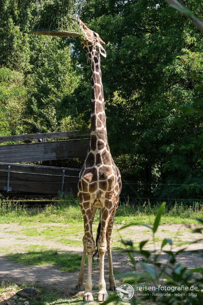 Giraffe im Hochformat