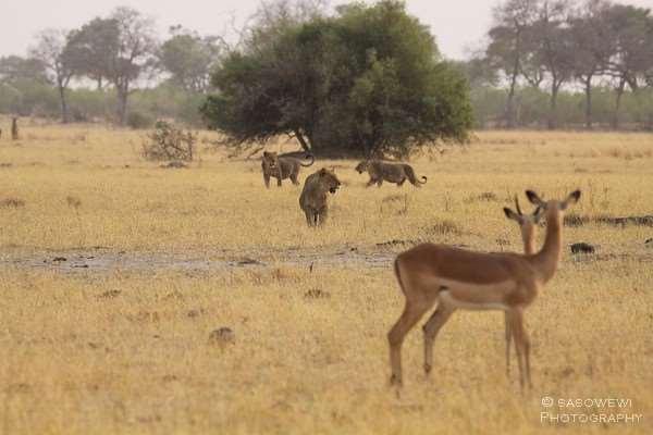 Frühpirsch in der Nähe von Savuti im Chobe Nationalpark