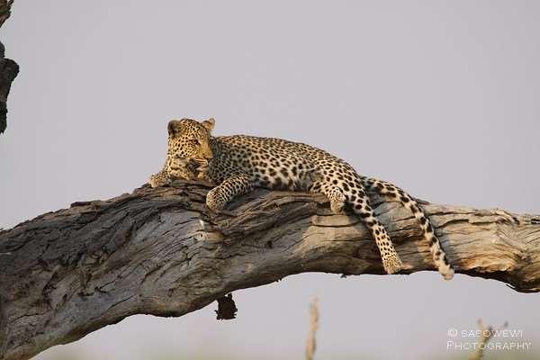 Leopard in der Nähe von Savuti im Chobe Nationalpark
