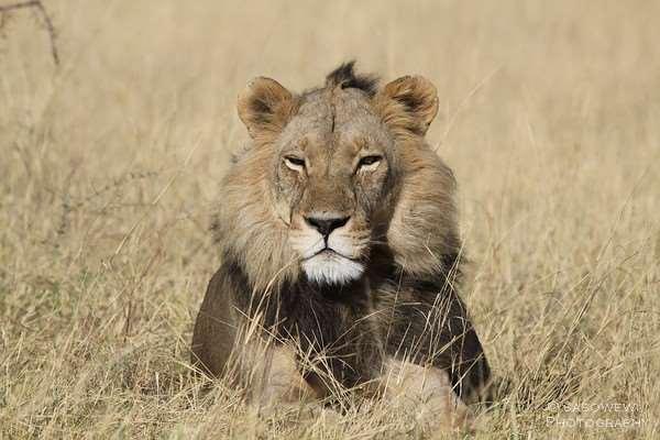 Löwe im Moremi Game Reserve