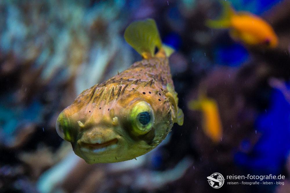 Kugelfisch im Kölner Aquarium