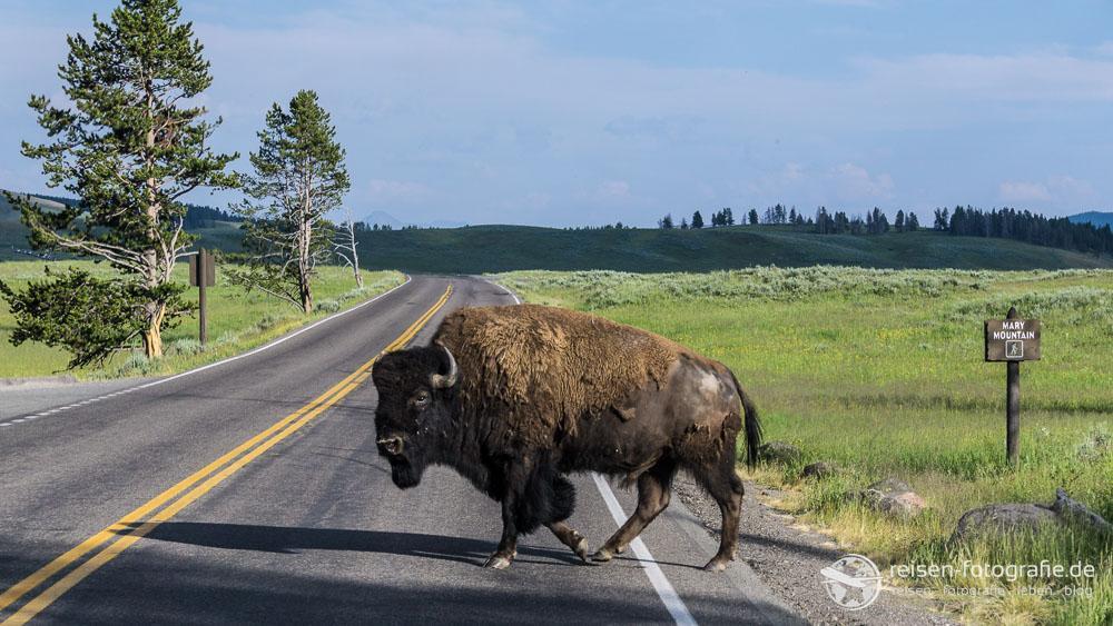 Im Yellowstone NP ist Wildwechseln auch am Tag nicht ungewöhnlich