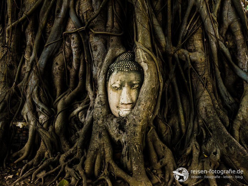 Buddha Kopf zwischen Baumwurzeln
