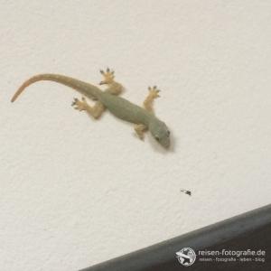 Unser erster Zimmer-Gecko, ein fleissiges Kerlchen